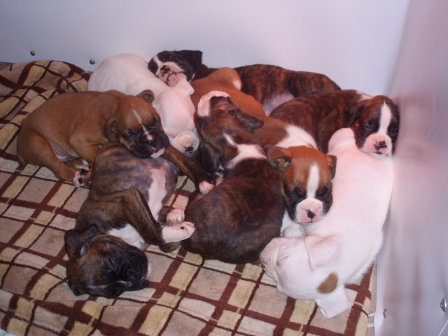 Boxer Puppeis, German boxers puppies, European boxer puppies